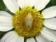 pupa flower